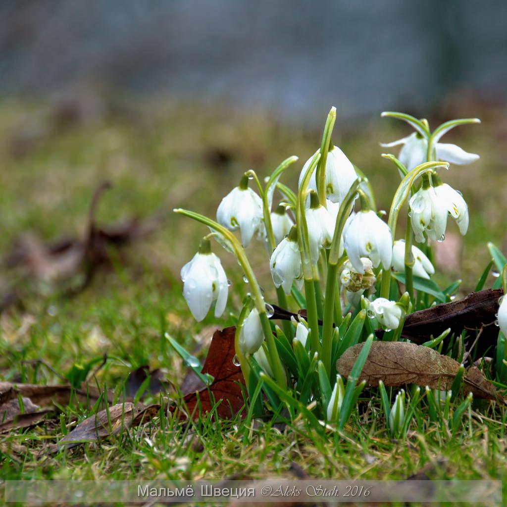 А на севере в это время, цветут подснежники